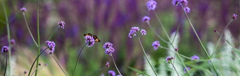 Sonniger Vorgarten mit Eisenkraut und Schmetterlingen