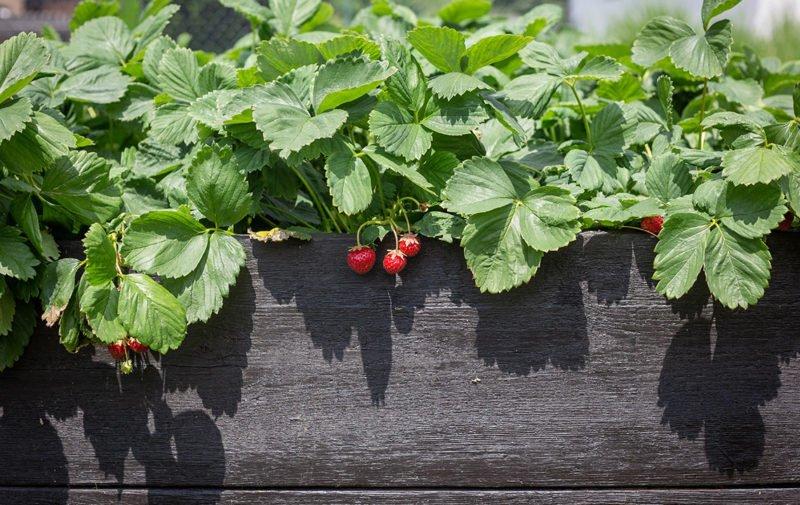 Erdbeeren im Hochbeet - unser moderner Naschgarten