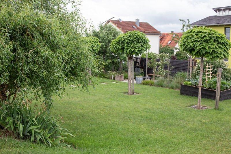 Catalpa big Nana (Trompetenbäume)  Ende Juni im Garten